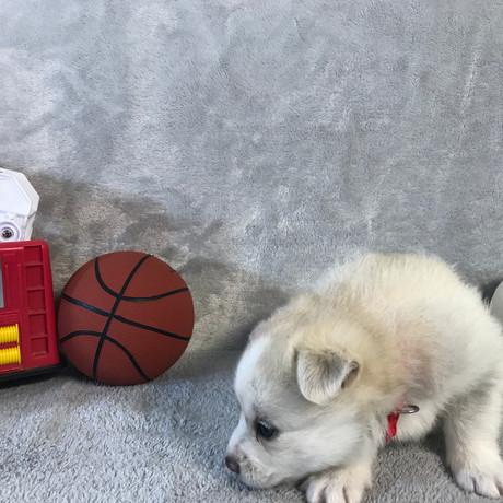 Pomsky Puppy Max 15.JPG