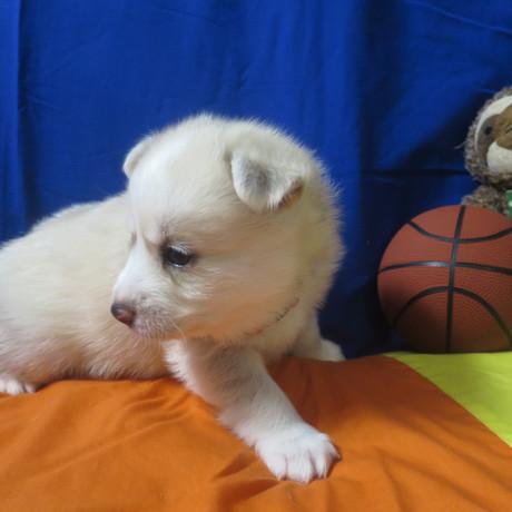 Pomsky Puppy Max 11.JPG