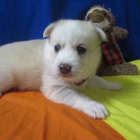 Pomsky Puppy Max 10.JPG