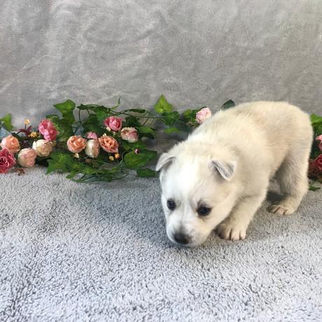Pomsky Puppy Violet 7.JPG