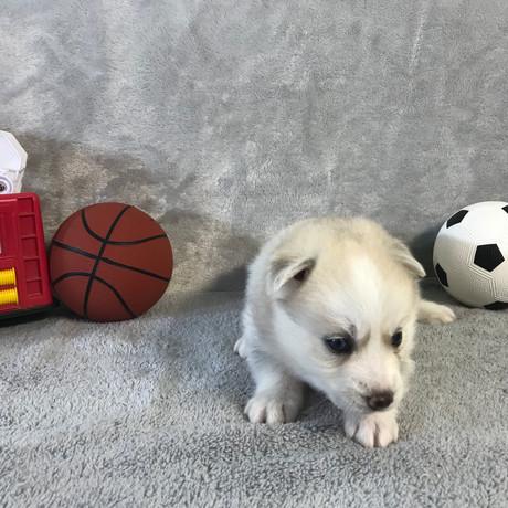Pomsky Puppy Max 18.JPG