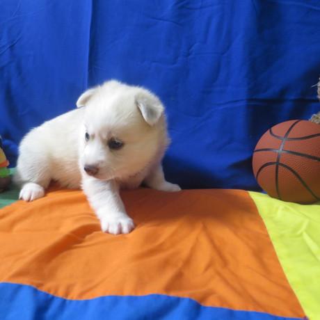 Pomsky Puppy Max 3.JPG
