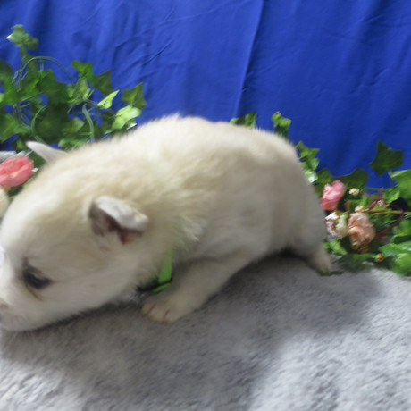 Pomsky Puppy Tori 3.JPG