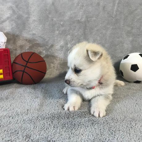 Pomsky Puppy Max 22.JPG