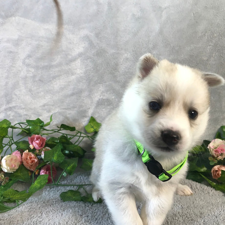 Pomsky Puppy Tori 6.JPG