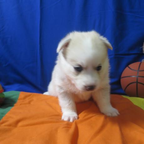 Pomsky Puppy Max 8.JPG