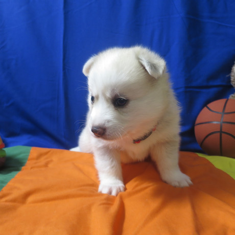Pomsky Puppy Max 7.JPG