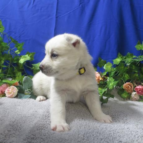 Pomsky Puppy Violet 3.JPG
