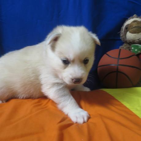 Pomsky Puppy Max 12.JPG