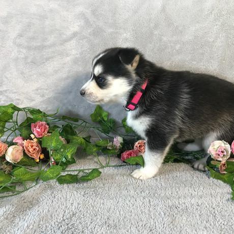 Pomsky Puppy Kelly 16.JPG