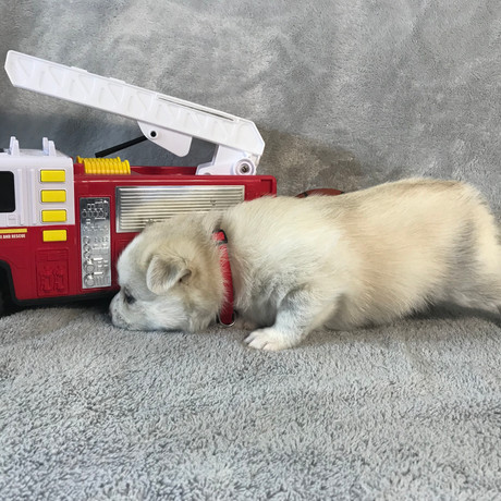 Pomsky Puppy Max 30.JPG