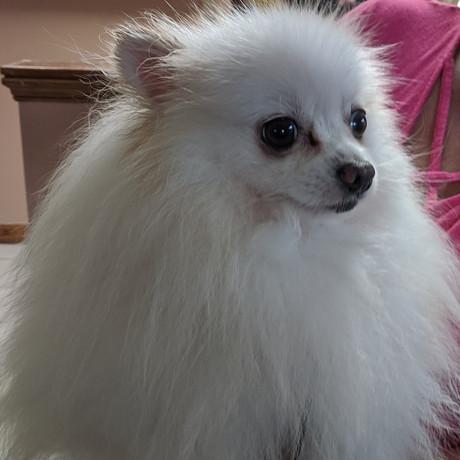 Pomeranian Sire Olaf
