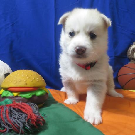 Pomsky Puppy Max 1.JPG