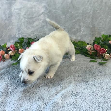 Pomsky Puppy Violet 12.JPG