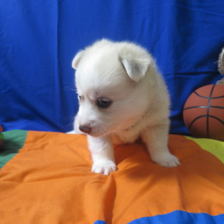 Pomsky Puppy Max 6.JPG
