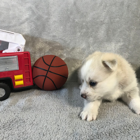 Pomsky Puppy Max 31.JPG