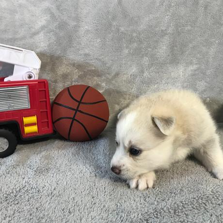 Pomsky Puppy Max 32.JPG