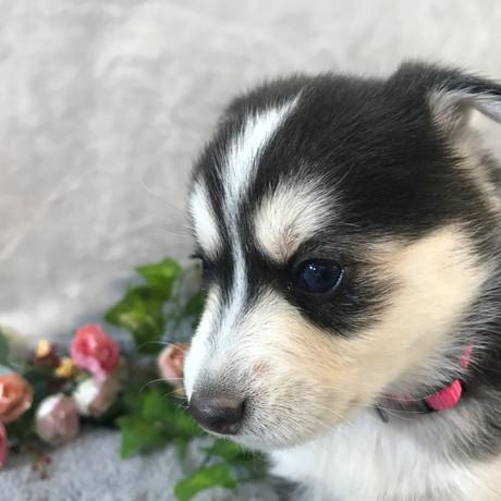 Pomsky Puppy Kelly 19.JPG