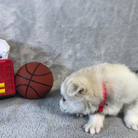 Pomsky Puppy Max 16.JPG