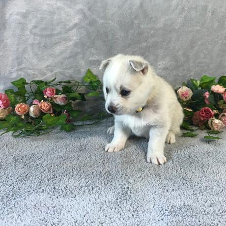 Pomsky Puppy Violet 5.JPG