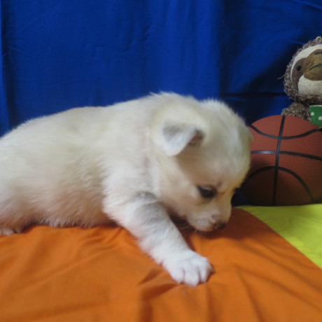 Pomsky Puppy Max 13.JPG