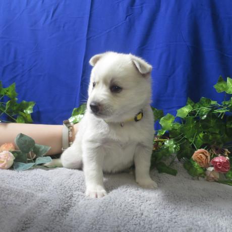 Pomsky Puppy Violet 4.JPG