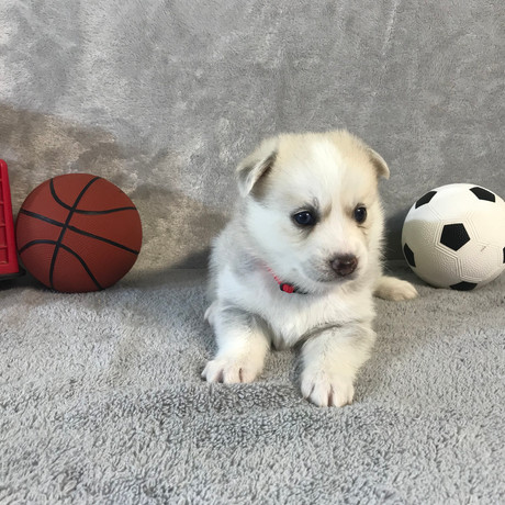 Pomsky Puppy Max 27.JPG