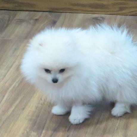 Pomeranian Sire Prince