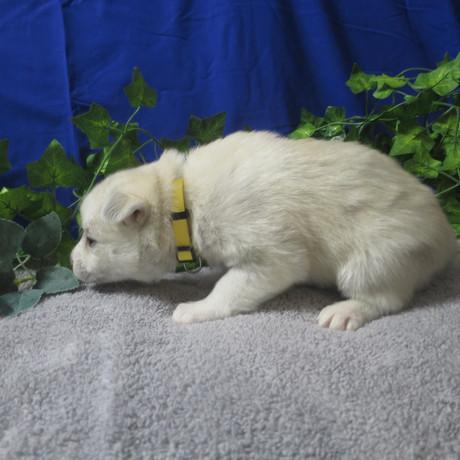 Pomsky Puppy Violet 1.JPG