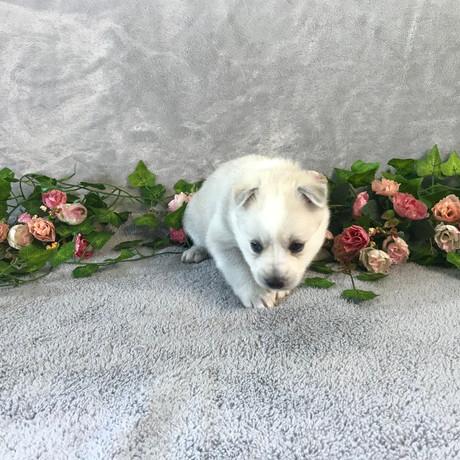 Pomsky Puppy Violet 10.JPG
