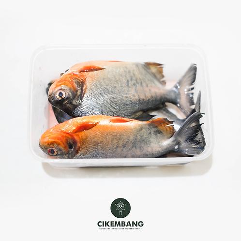 Ikan Bawal Tawar 500 gr BDG
