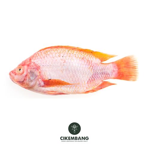 Ikan Kakap Merah 1 kg JKT
