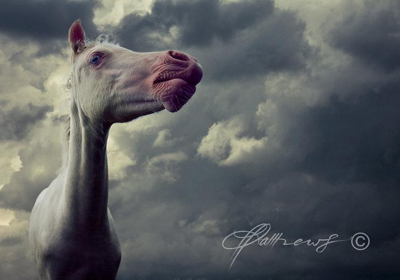 'Albino Foal' - Photographic Print