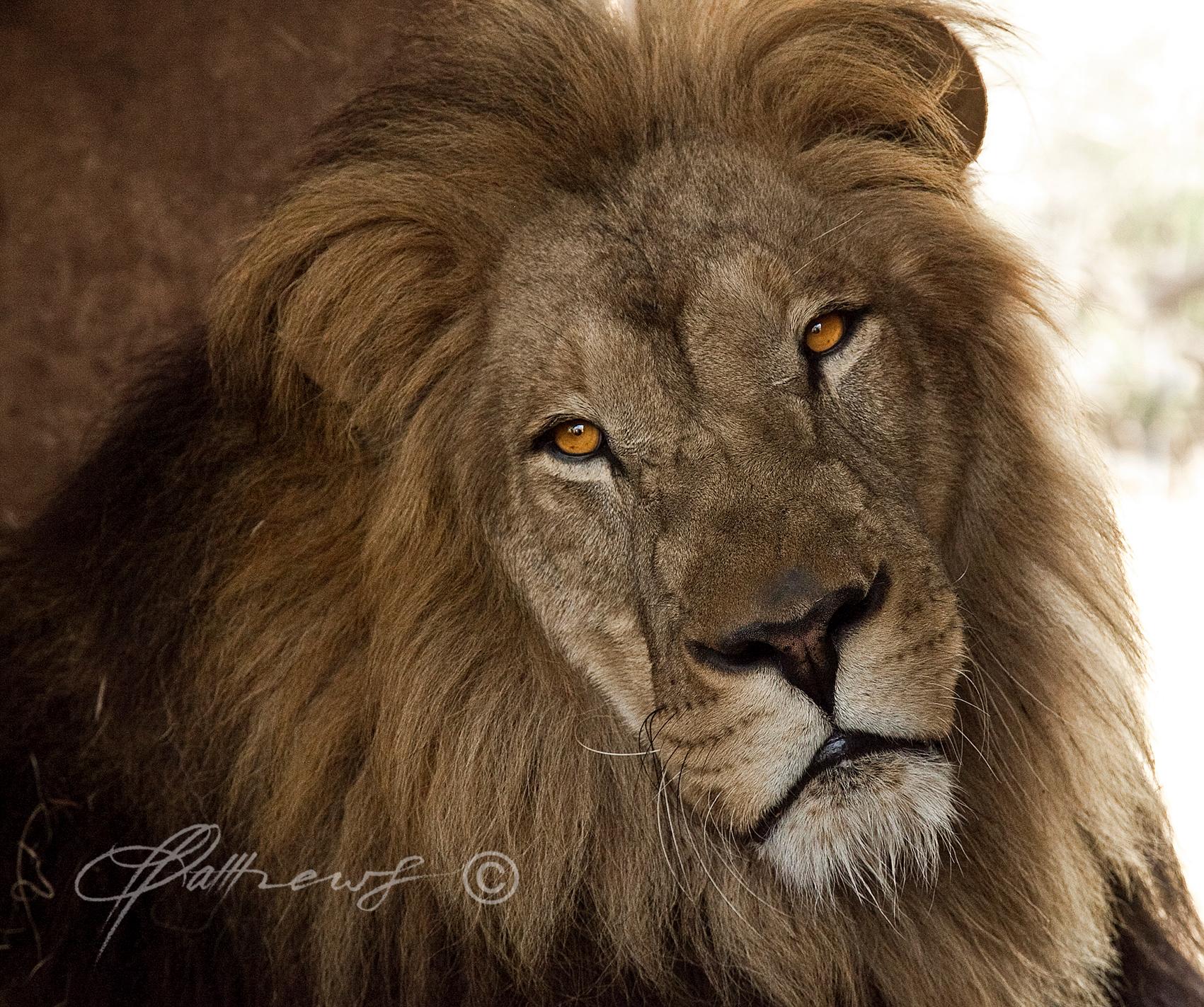 ZULU-lion