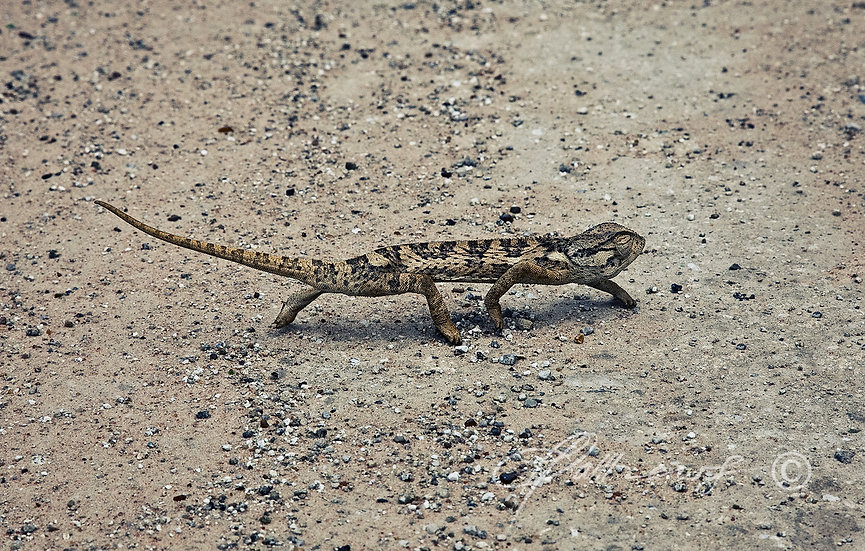 'Chameleon' - Photographic Print