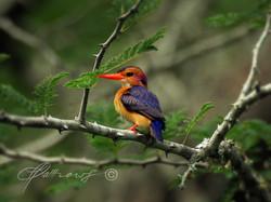 PygmyKingfisher_-Phinda