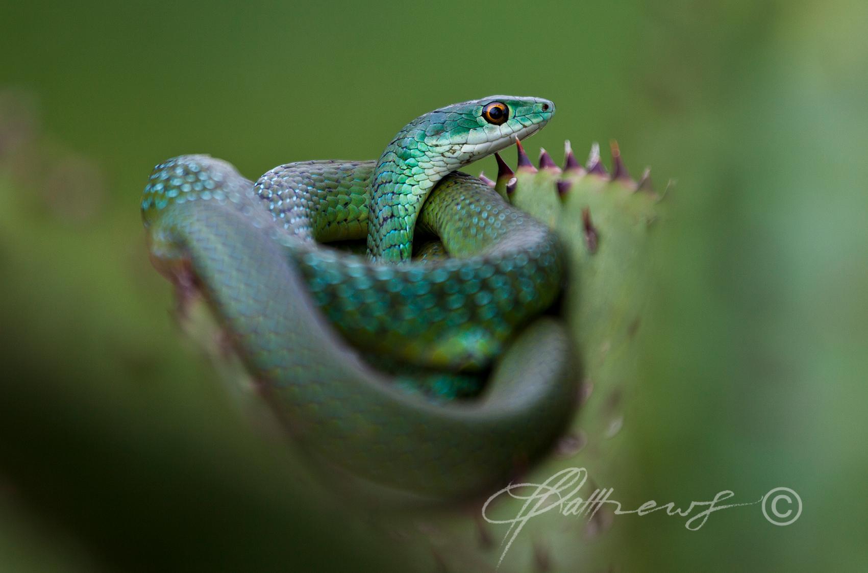 Bush-snake