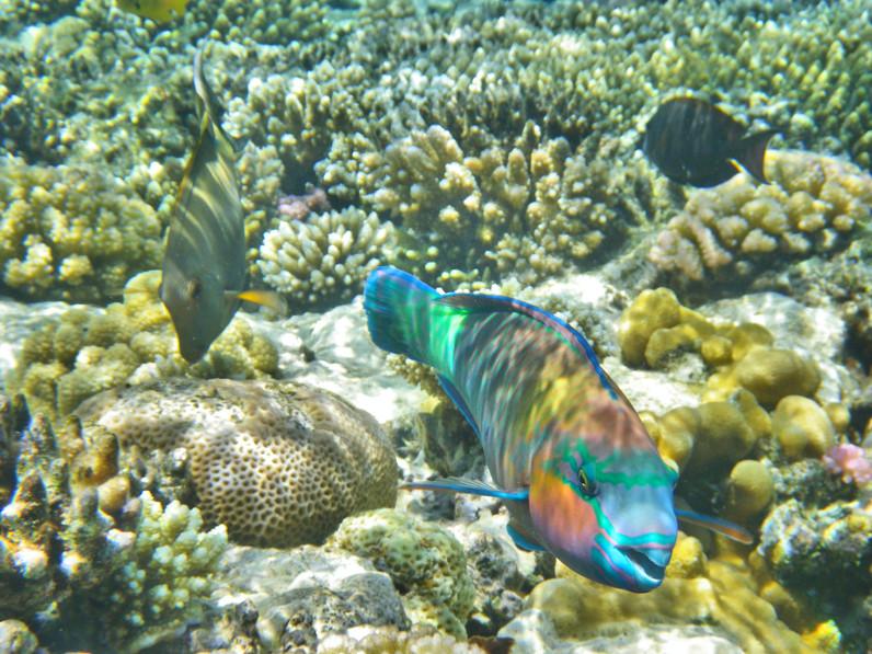 Rainbow Parrotfish.jpg