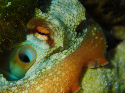 OctopusInHole1