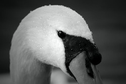 Essence of the Swan