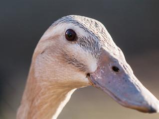 Ducked Again!!!!!