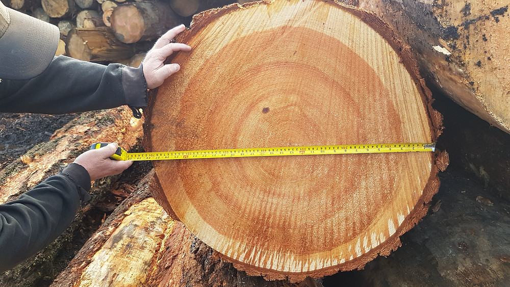 High quality tight grain douglas fir timber log being measured and prepared for processing for timber frame structures.