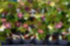神代植物公園クリスマスローズ展示会.jpg
