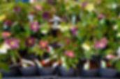 神代植物公園クリスマスローズ展示会.jpgの複製