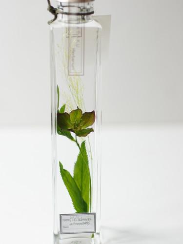 花咲くハーバリウム 原種アトロルーベンス