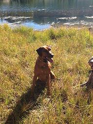 Savanna Ridgebacks litter of Summer 2014