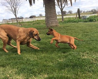 SAVANNAH RIDGEBACKS