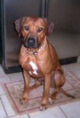 Savanna Ridgebacks_Shangani as a puppy