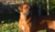 Rhodesian Ridgebacks in California