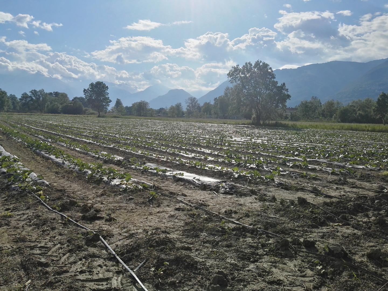 Campo di zucchine